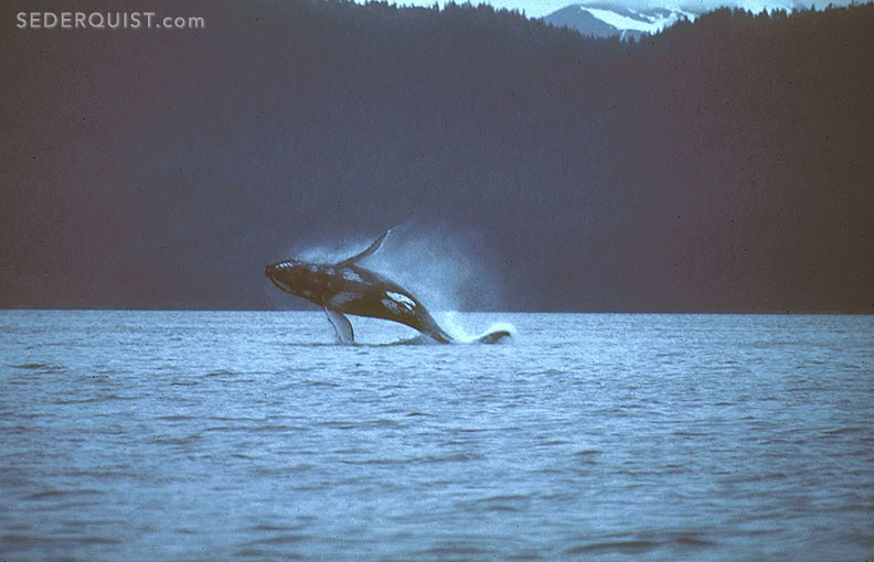 breaching humpback whale, Prince William Sound, Alaska