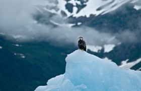Immature Bald Eagle on Iceberg, Tracy Arm