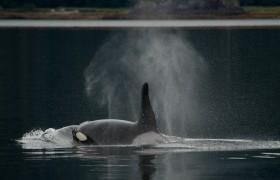 Male Orca, Alaska
