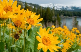 Mule Ear Flowers near Caples Lake, Carson Pass