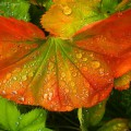Raindrops on leaves, Wrangell, Alaska