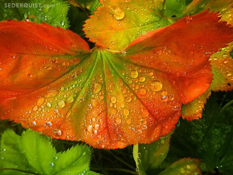 Raindrops on leaves, Wrangell, Alaska