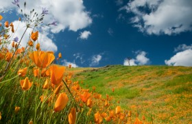 California Poppies, Mount Murphy, Coloma