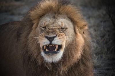 yawning-male-lion-tanzania