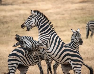 Fighting Zebras, Ngorongoro Crater, Tanzania